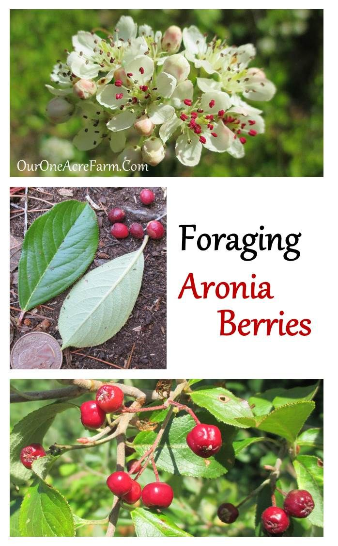 Foraging Aronia Berries - Also called chokeBerries (NOT ChokeCHerries), these are rich in health promoting antioxidants. An under-used wild superfood!