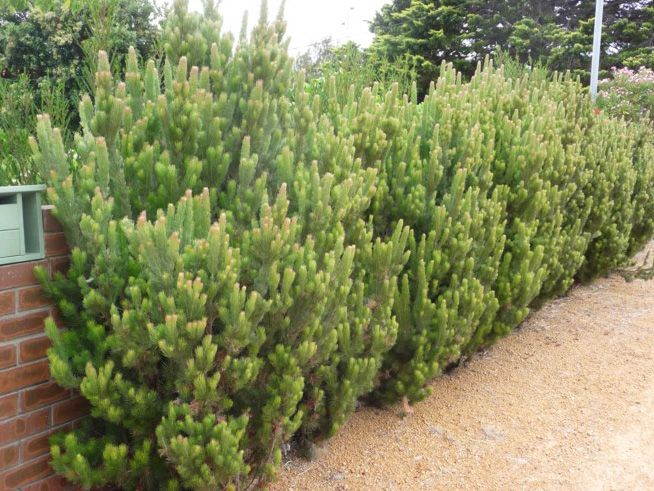 Silver Streak Woolly Bush - than the usual form makes this plant ideal for a tough, yet highly attractive hedge or screen.