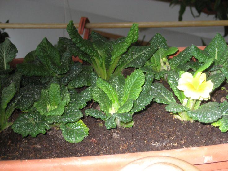 Little primroses
