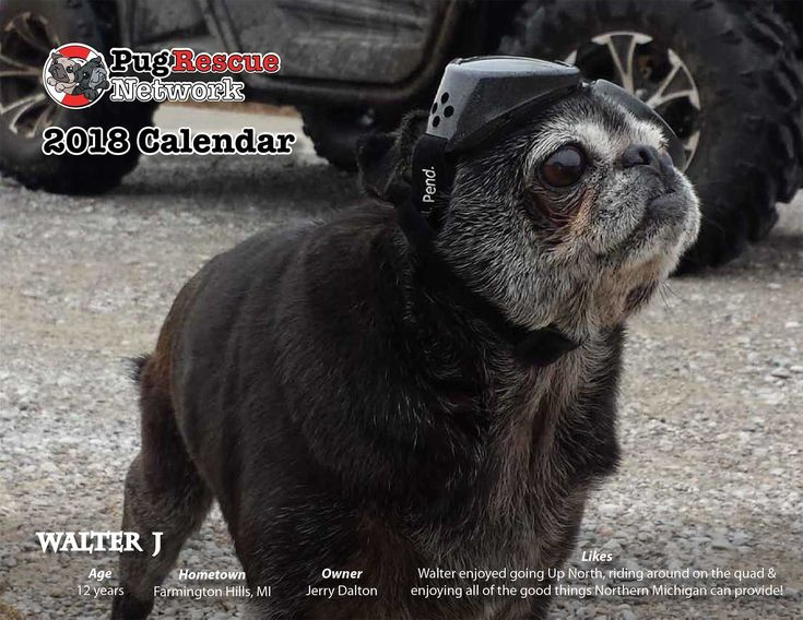 Pug Rescue Network's 2018 Calendar on sale now and save 12% This makes a great gift for the pug lover on your list and gives for 12 months!