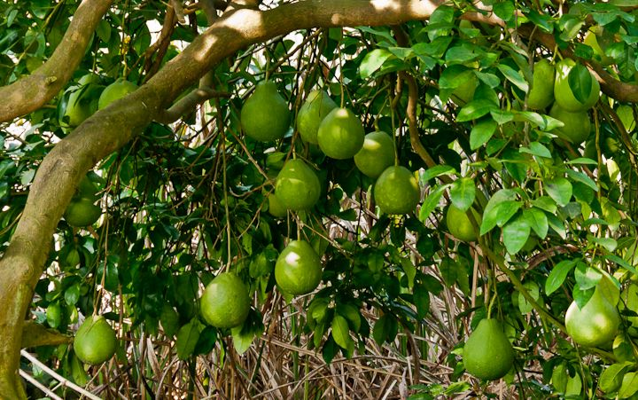 Citrus Pages | Pomelo trees (citrus maxima) produce the world's largest citrus fruit. In favourable conditions ripe fruit are known to reach 30 cm in width and 3 kg in weight. They have a taste similar to very sweet grapefruit. May potentially tolerate some frost but fruits best in a tropical climate. Zone 10-11