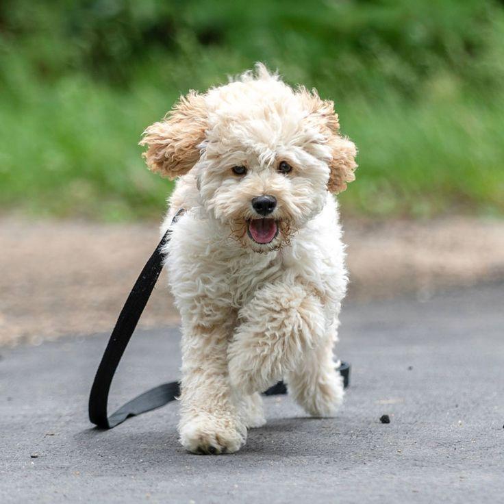 Maltipoo Puppies For Sale Near Me Maltipoo Breeders Toy Poodle Vs Maltipoo Dog Maltipoo Designer Dog Breed Maltese In 2020 Maltipoo Dog Designer Dogs Breeds Maltipoo