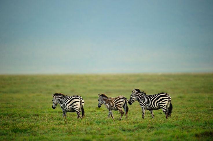 https://flic.kr/p/uqCV3z | Ngorongoro Crater, Tanzania, 2014 | Three zebras on the grasses of the Ngorongoro Crater, Tanzania.