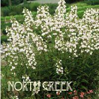 Phlox maculata 'Flower Power' PP17551    White Meadow Phlox