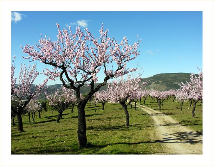 Amendoeiras de Figueira de Castelo Rodrigo