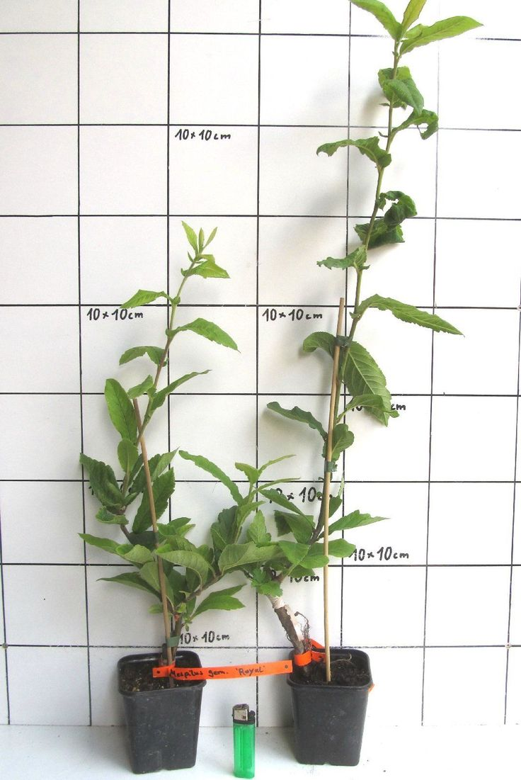 75 best Jeunes plants d\'arbres et d\'arbustes - Baumsetzlinge und ...