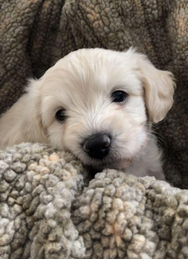 Macy Adoptable Dog Puppy Female Poodle Mix Pet Adoption Dog