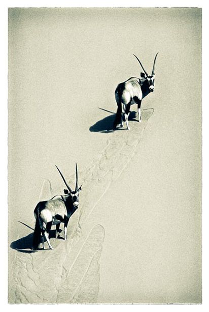 oryx climbing vertical sand dune- tinted print