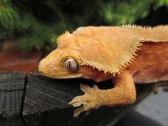 Crested Gecko crest gecko