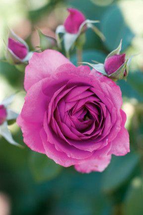Delbard rose 'Chartreuse de Parme' -