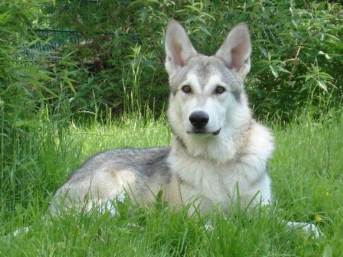 Half Wolf Dog Breeds