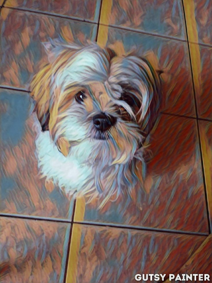 Pin by Viviana Jimenez on shih tzu Shih tzu, Animals, Dogs