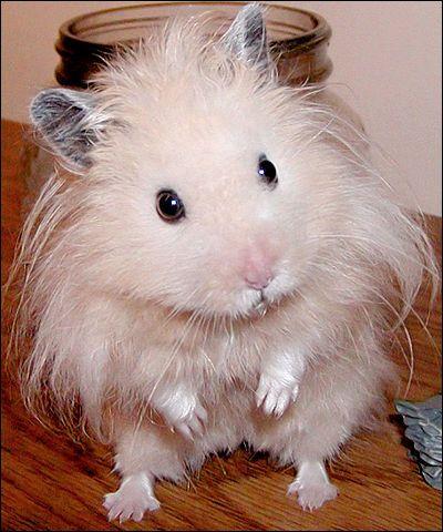 hamster, animals, cute, white