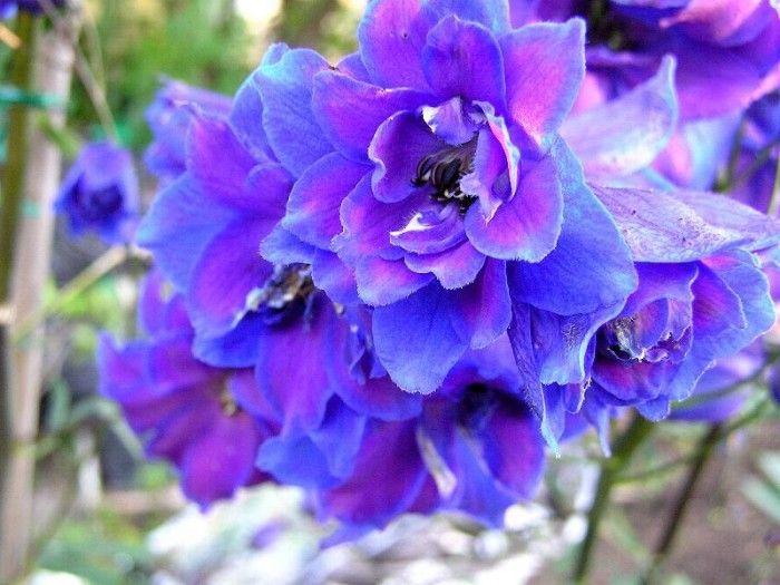 Larkspur Julys birth flower