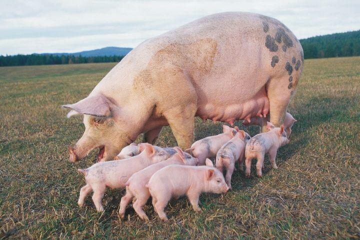 ORVALHO DO AMANHÃ: Qual o significado da palavra porco na Bíblia? Ou ...