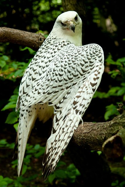 The Gyrfalcon, also spelled gerfalcon—Falco rusticolus—is the largest of the falcon species. The Gyrfalcon breeds on Arctic coasts and the islands of North America, Europe, and Asia.  by  kANJAheiterwerden
