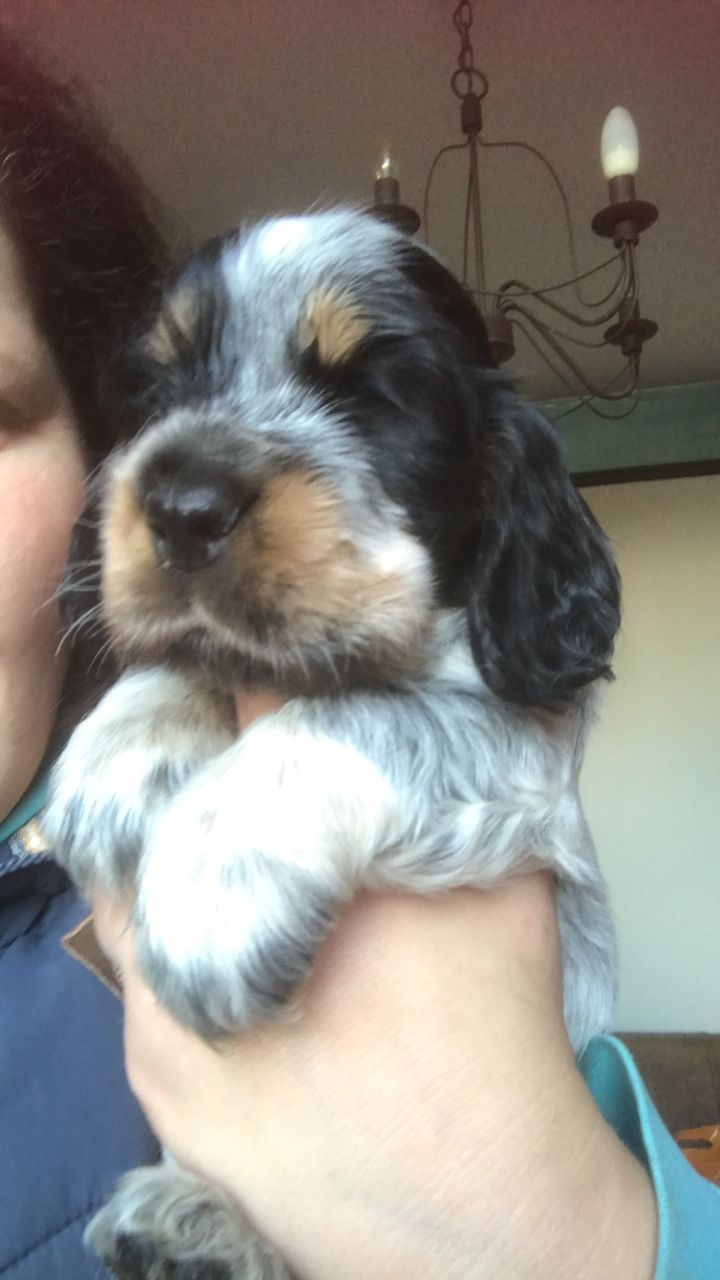 Shichon puppies for sale in kentucky - I Have Available Two Beautiful Blue Roan And Tan Dog Pups For Sale These Puppies Will