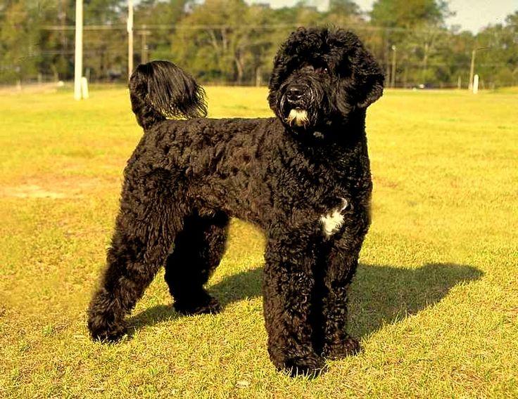 Perro de agua portugues... Este será mi perrito algún día....
