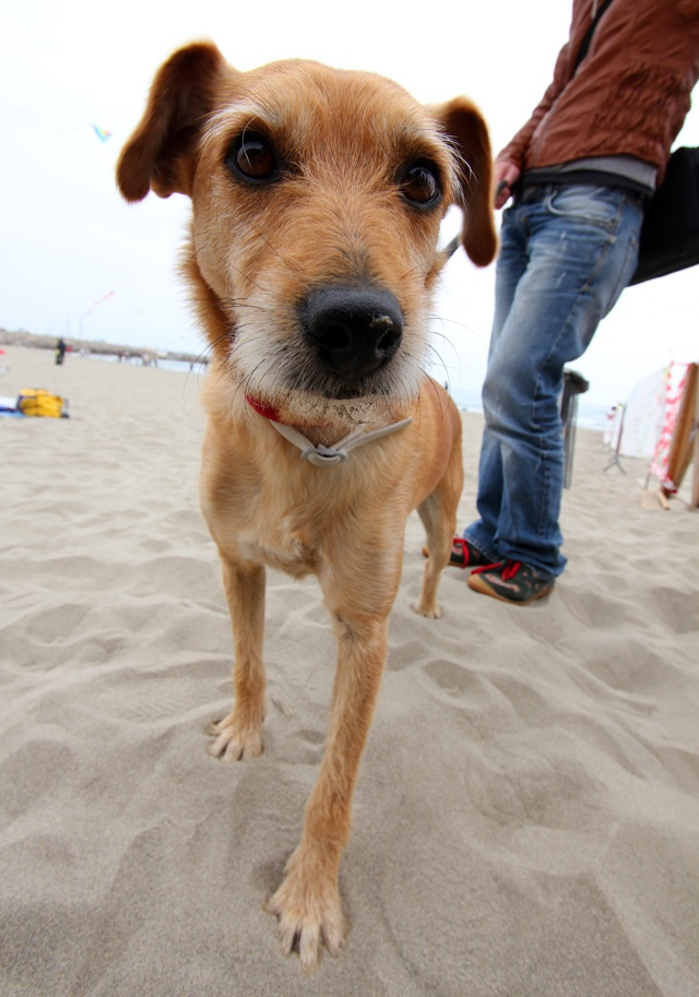 Call him Brasco! He' @Paola Faravelli 's #dog , from #iliguria (www.iliguria.net) on #Imperia 's #beach