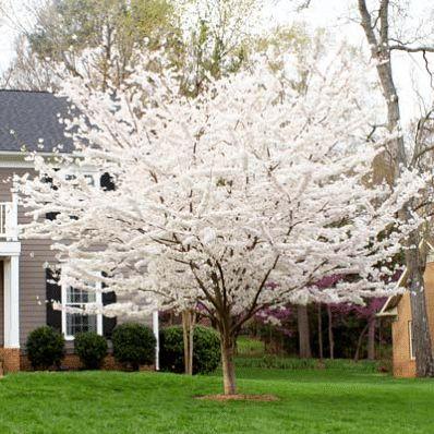 Yoshino Cherry Tree - Prunus x yedoenis for Sale - Brighter Blooms Nursery