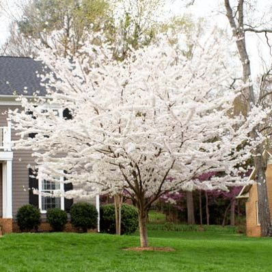 Yoshino Cherry Tree - Prunus x yedoenis for Sale - Brighter Blooms Nursery
