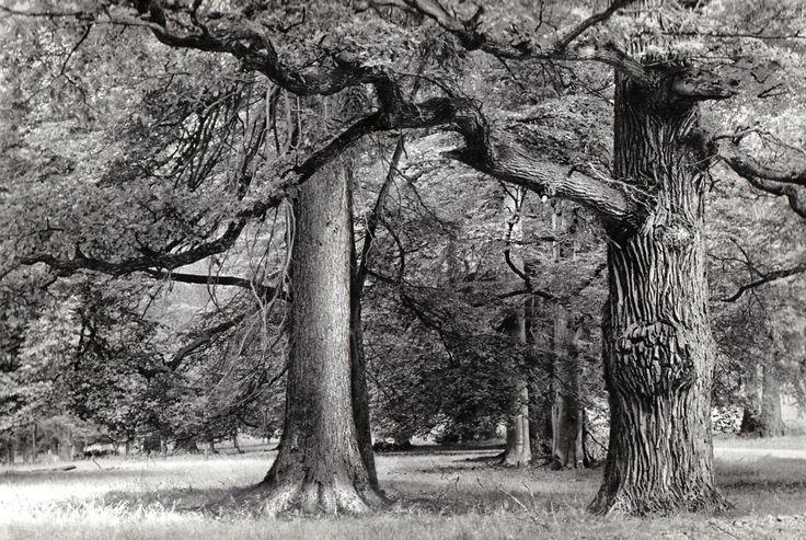 karel plicka   093_Hluboka,_vekovite_stromy_v_Stare_obore.jpg