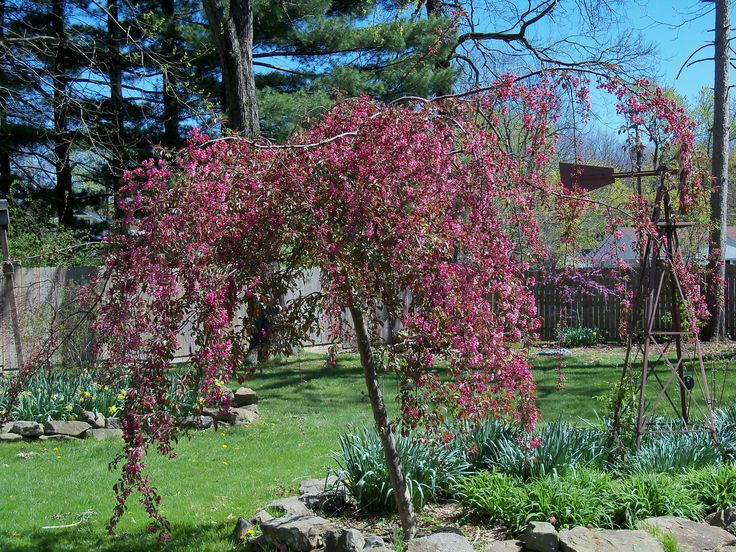 Weeping crabapple tree malus x 39 royalty beauty 39 a for Small ornamental weeping trees