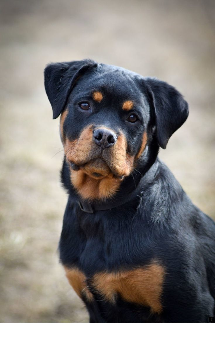 rottweiler dog food - 736×1104