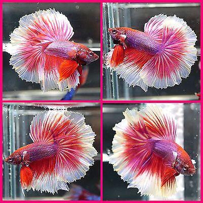 Live Betta Fish Male Fancy Violet Pink Rosetail Halfmoon