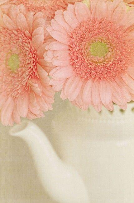 Gerbera Daisies ~ peach