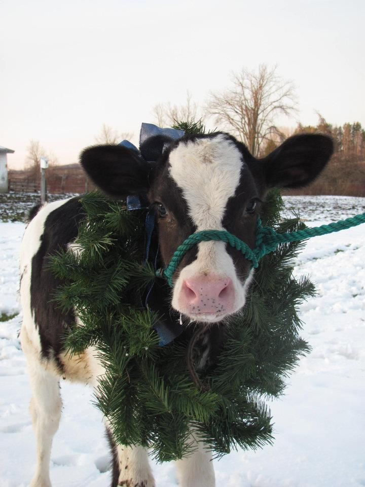 Christmas Calf Merry Christmas Baby Cows Holstein Cows