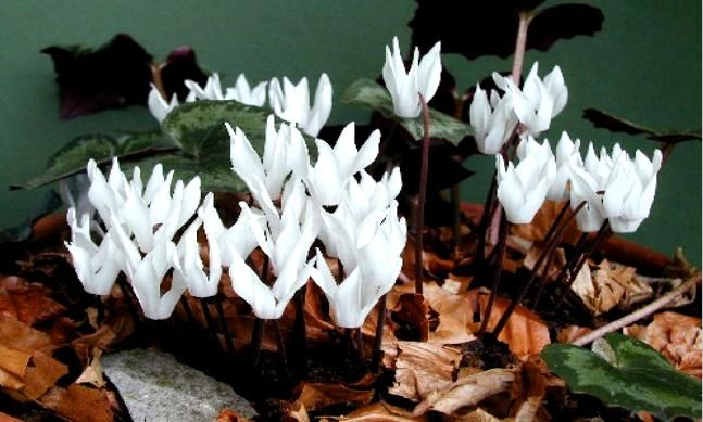ΚΡΗΤΙΚΟ ΚΥΚΛΑΜΙΝΟ-από τα πιο όμορφα αγριολούλουδα της Κρήτης