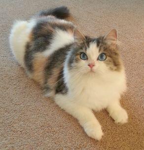 RagaMuffin Cats & RagaMuffin Kittens Shrewsbury, Shropshire, UK. Blue Colourpoint, Seal Colourpoint, Bi-Colour & Mitted #calicoragdollcat