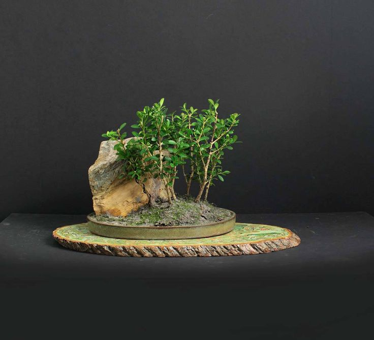 "Korean Boxwood tree forest, Fall'17 ""Natures Play Collection"" from LiveBonsaiTree"" by LiveBonsaiTree on Etsy"