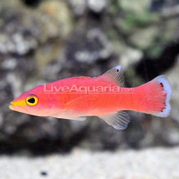 Cave Basslet Liopropoma Mowbrayi Easy Peaceful Reef