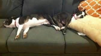 Bonded Boston Terrier Sisters Need A Loving Home | iBostonTerrier.com