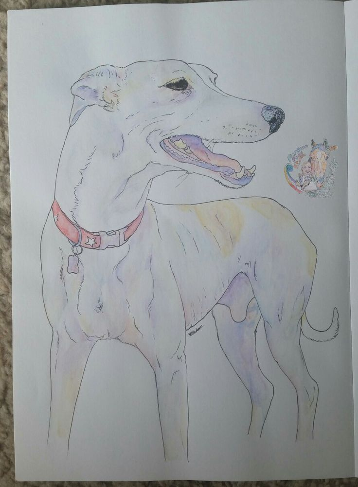 2016 Quick Commission. 4th commission, greyhound. Watercolour pencil and artist pitt pen on A4 sketch paper. Hypercolour.