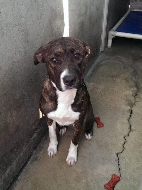 HAS POSSIBLE ADOPTER IN OHIO NEEDS TRANSPORT CAN U HELP?  URGENT- BRINDLE PIT CONFIRMED EUTH LISTED! Needs a rescue, needs pledges, needs a foster to save!   A1287715 F 1 Year BR BRINDLE PIT BULL MIX 11/16/2013  OC ANIMAL CARE, 561 The City Drive South, Orange, CA 92868, 714-935-6848  https://www.facebook.com/photo.php?fbid=10153517476845223&set=a.317943020222.328357.315830505222&type=1