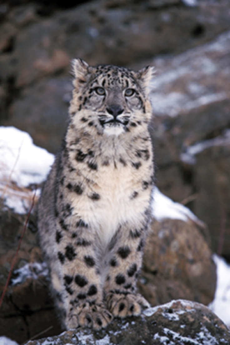 Snow Leopard <3                                                                                                                                                                                 More