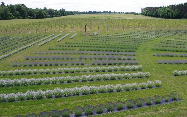 Lavender stretches at Bonnieheath in Norfolk County Ontario. Photo by Jane Finn.