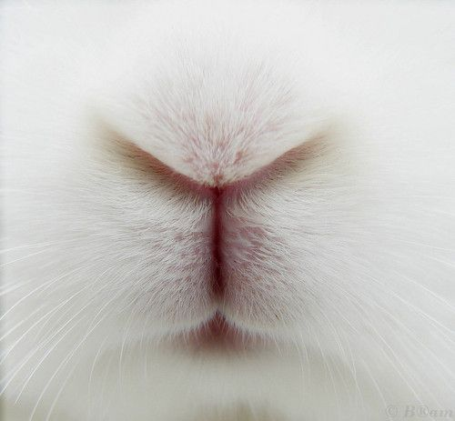 Bunny nose.Alice In Wonderland, Pets, A Kisses, Easter Bunnies, White Rabbit, Silly Cat, Bunnies Nose, Animal, Snow White
