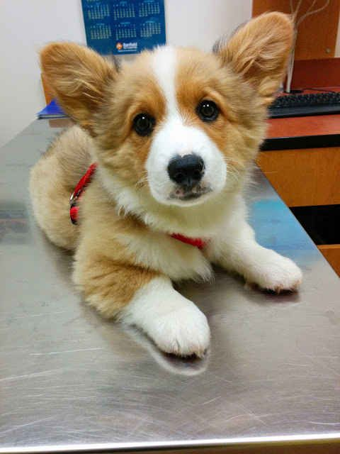Buzz  Feeds cutest Pups features three corgis :This corgi who has the cutest face in cutest  the universe.