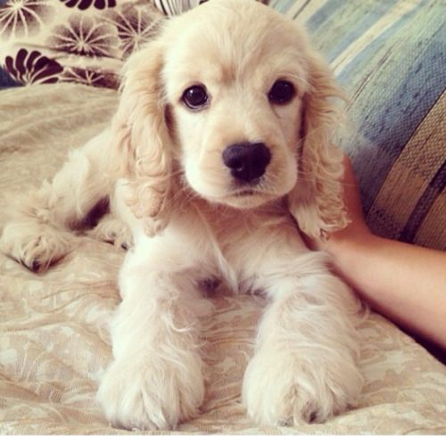 Cute little Cocker Spaniel.
