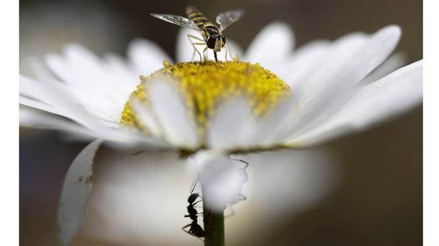 Impactantes, conmovedoras y alucinantes: el año en fotos de la agencia AP  Insectos se alimentan de néctar de manzanilla en un campo en las afueras de Minsk, Bielorrusia, el 21 de julio de 2017, durante un día soleado de verano. Foto: AP / Sergei Grits