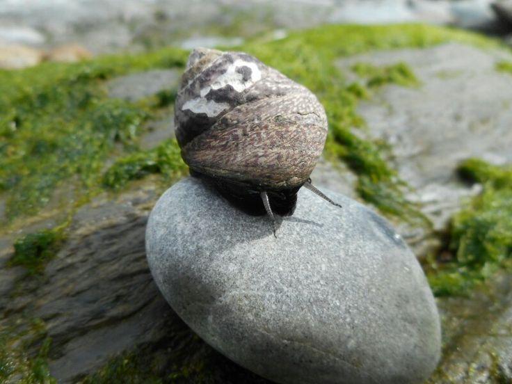 Sea snail. Knockadoon coast. Co. Cork