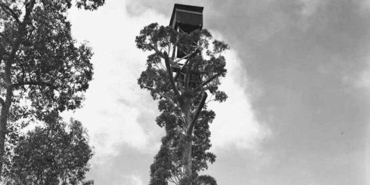 Rumah Pohon Setinggi 50 Meter Di Perth Akan Merayakan Ulang Tahun Ke-75 - http://darwinchai.com/traveling/rumah-pohon-setinggi-50-meter-di-perth-akan-merayakan-ulang-tahun-ke-75/