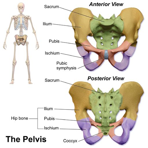 Question of the Day! What three bones make up the pelvic girdle? |MedicalTerminology4fun.com;image:Blausen 0723 Pelvis