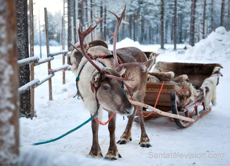 Die Rentiere des Weihnachtsmann` erwarten den alten Mann im Weihnachtsmanndorf in Rovaniemi in Finnisch Lappland.