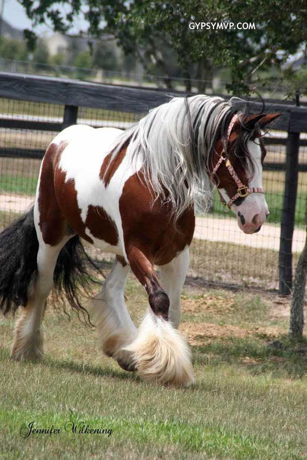 Gypsy Vanner Horses for Sale   Mare   Tri Colored Trinity
