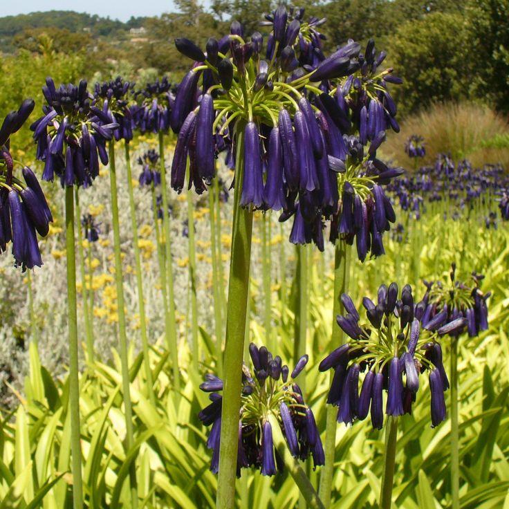 Agapanthe Black Pantha –  Grande variété à fleurs bleues presque noires
